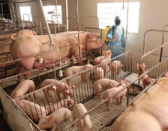 Cục Chăn nuôi bác thông tin 8 triệu con lợn bị tồn đọng