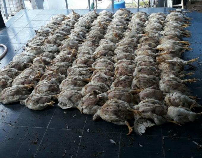 Không thể xuất chuồng, người dân nhặt hàng trăm con gà đem đốt mỗi ngày