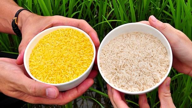 Sản xuất thương mại gạo vàng biến đổi gene