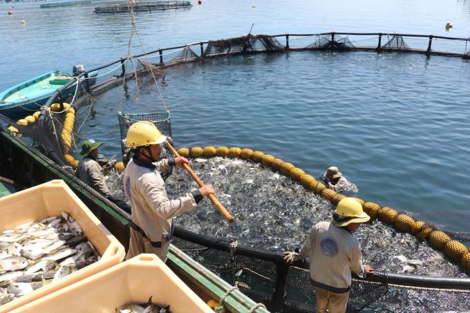 Vì sao ngành chăn nuôi biển ở Việt Nam vẫn chưa tận dụng được thế mạnh?