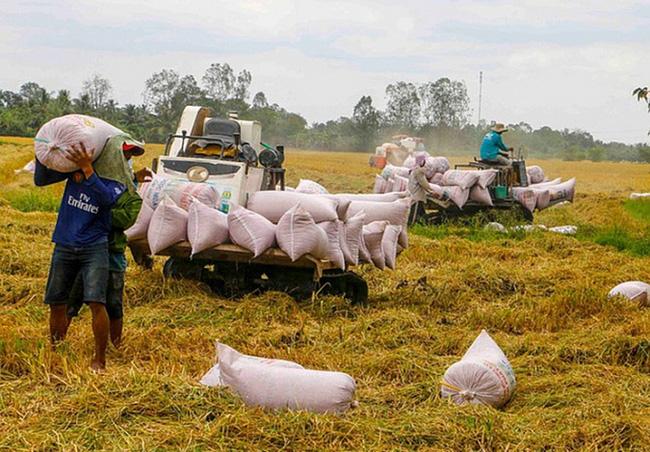 Giá thu mua lúa gạo bắt đầu tăng nhẹ