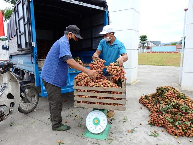 Vải thiều Quảng Ninh được mùa, giá chỉ từ 5.000 đến 7.000 đồng/kg