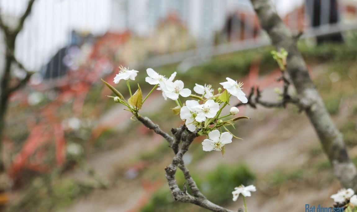 Hoa lê trắng tinh khôi hút khách Thủ đô sau Tết Nguyên đán