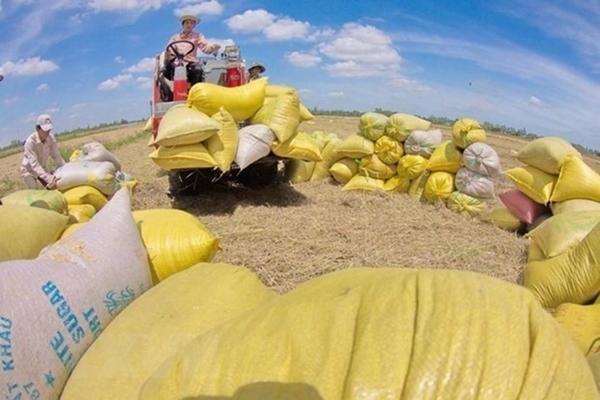 Giá gạo Việt Nam rơi xuống mức thấp trong 5 tháng