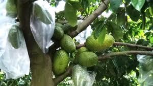 Hàng loạt trái cây đặc sản ở đồng bằng sông Cửu Long khó tiêu thụ, dội hàng, rớt giá