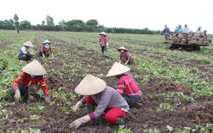 """27.000 tấn khoai lang tím ở Vĩnh Long được kêu gọi """"giải cứu"""""""