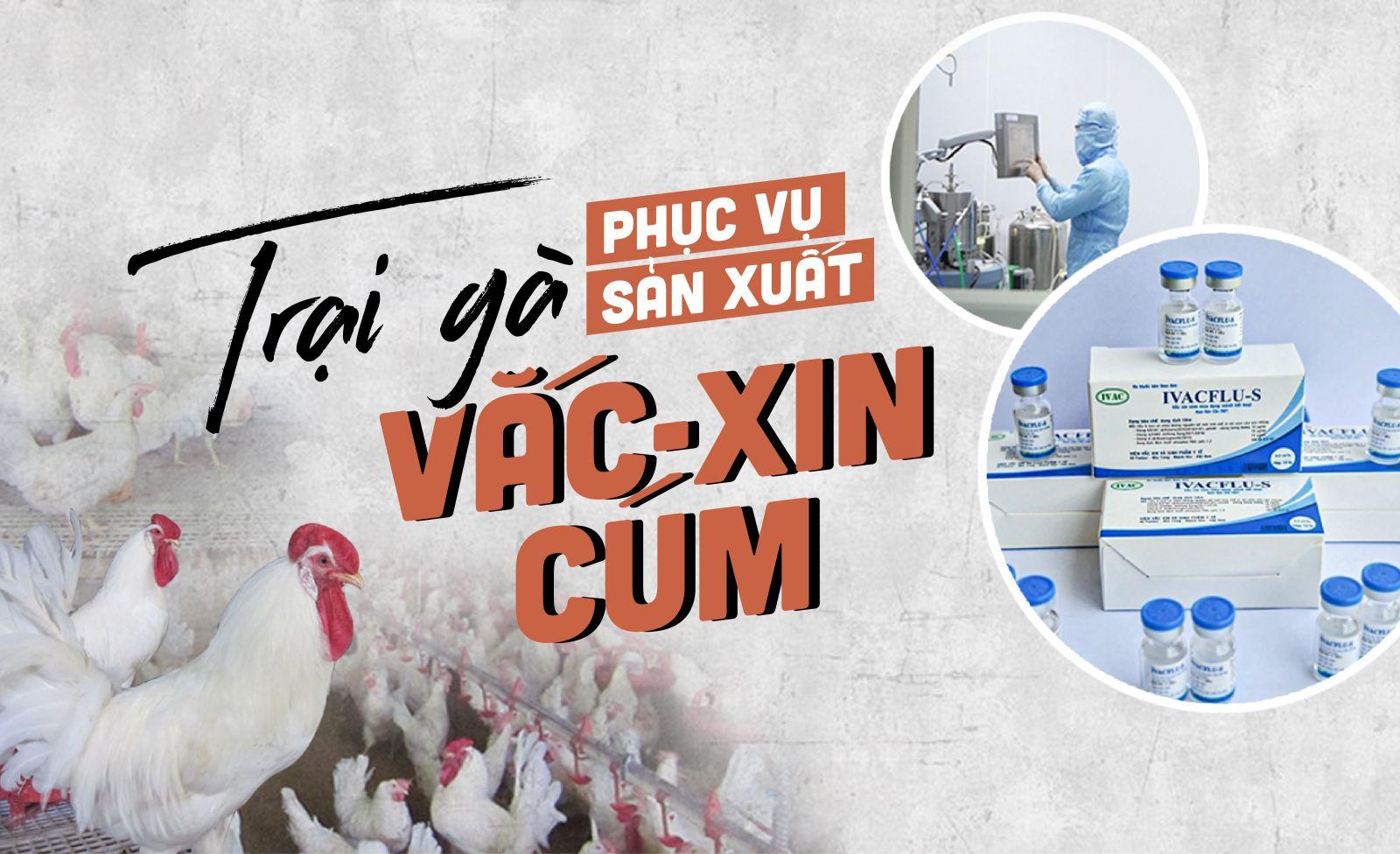 Trại gà phục vụ sản xuất vắc-xin cúm