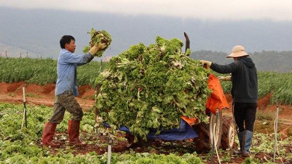 Giá vận chuyển tăng cao cùng nhu cầu tiêu thụ giảm tận đáy, nông dân Đà Lạt phải cắt bỏ một số loại rau.