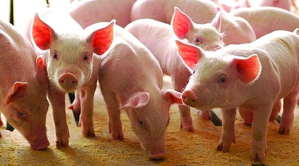Lợn hơi giảm sốc, giá thịt thành phẩm vẫn cao ngất ngưởng.