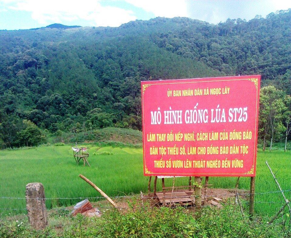 Mô hình trồng giống lúa gạo ST25 ở độ cao 1.500 mét so với mực nước biển.