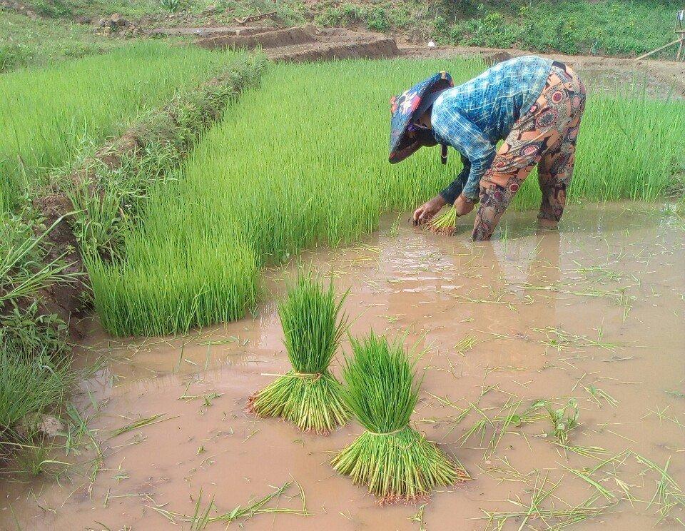 Người dân gieo trồng giống lúa gạo ngon nhất thế giới trên đồng ruộng.