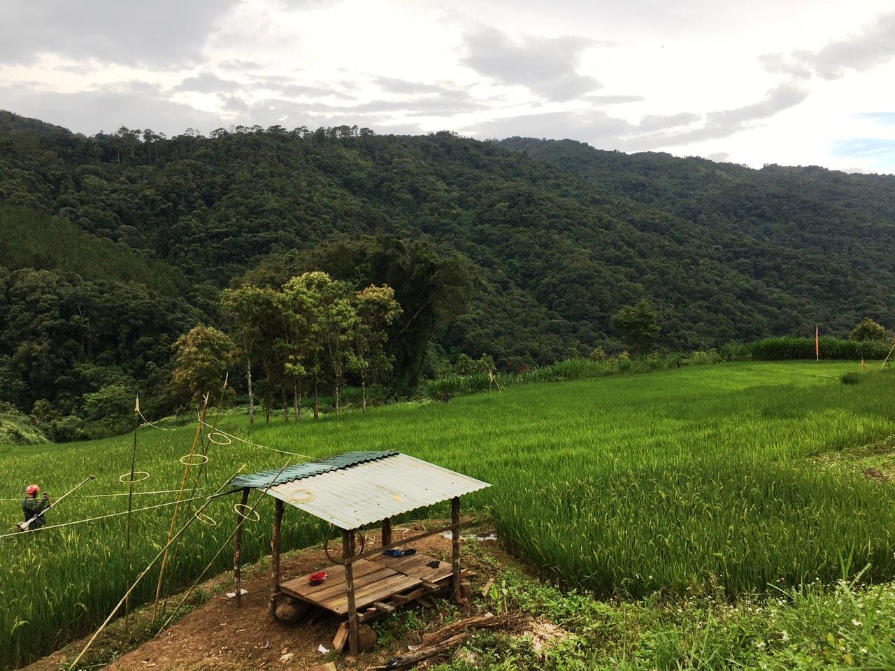 Một rẫy lúa sạch của người Xê Đăng ở huyện Tu Mơ Rông.