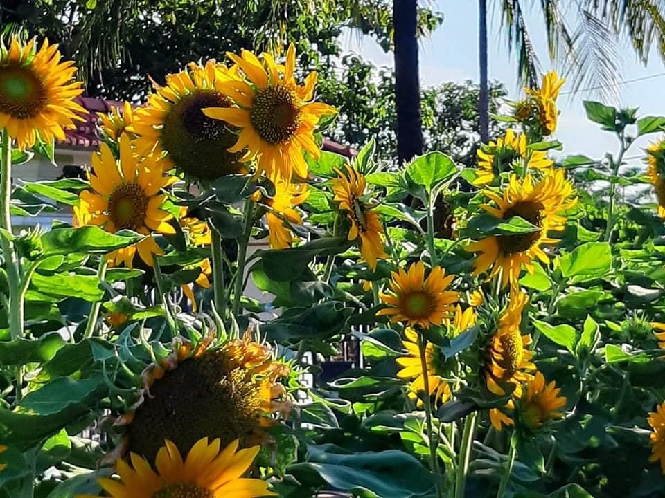 Mẹ chị Hồng Anh trồng rất nhiều hoa hướng dương quanh nhà vì biết con gái rất thích loài hoa này.