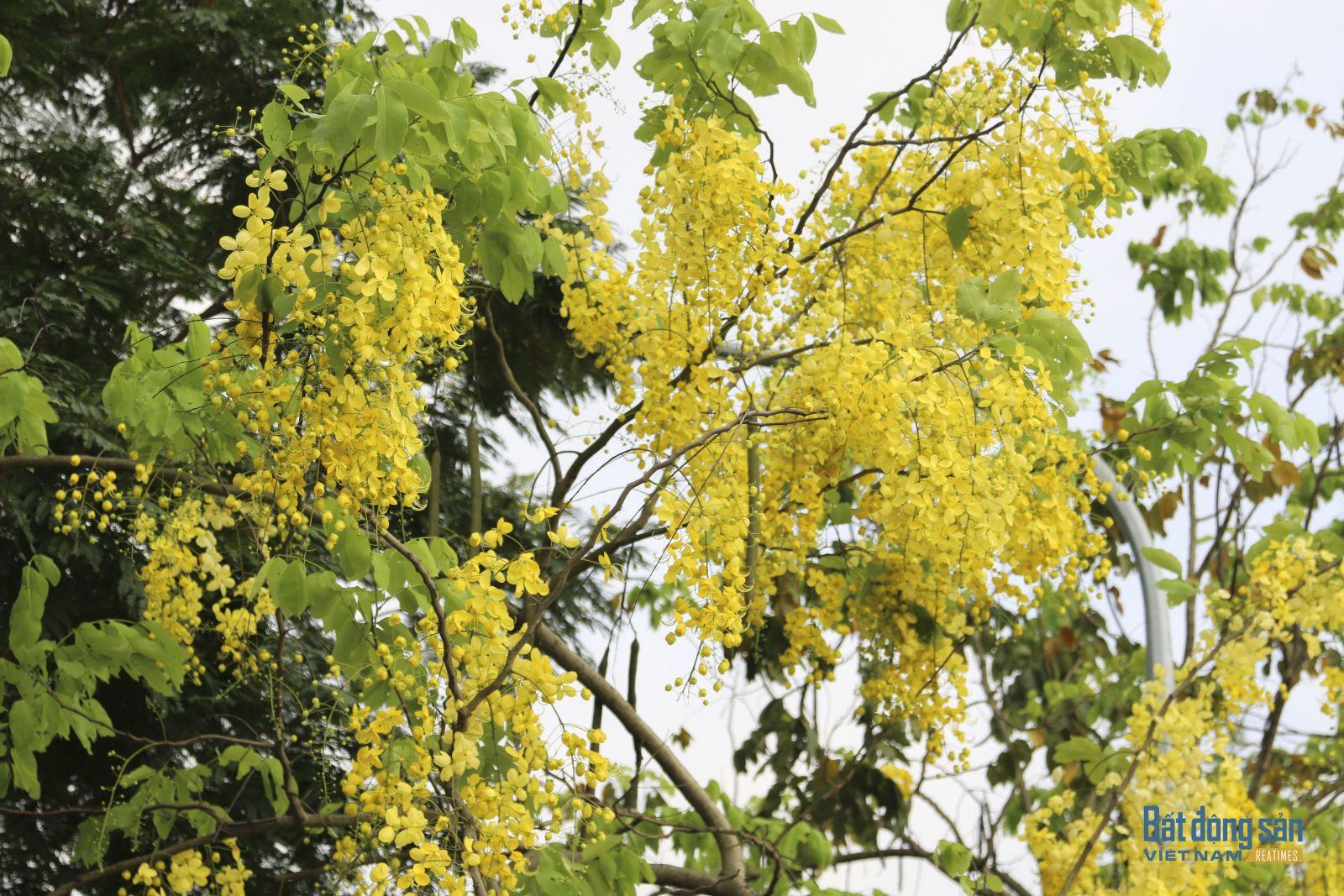 Quả muồng hoàng yến dạng đậu hình trụ, hơi có đốt, dài 20–60 cm hoặc hơn, mang nhiều hạt trái xoan rộng, khi khô có vỏ cứng.