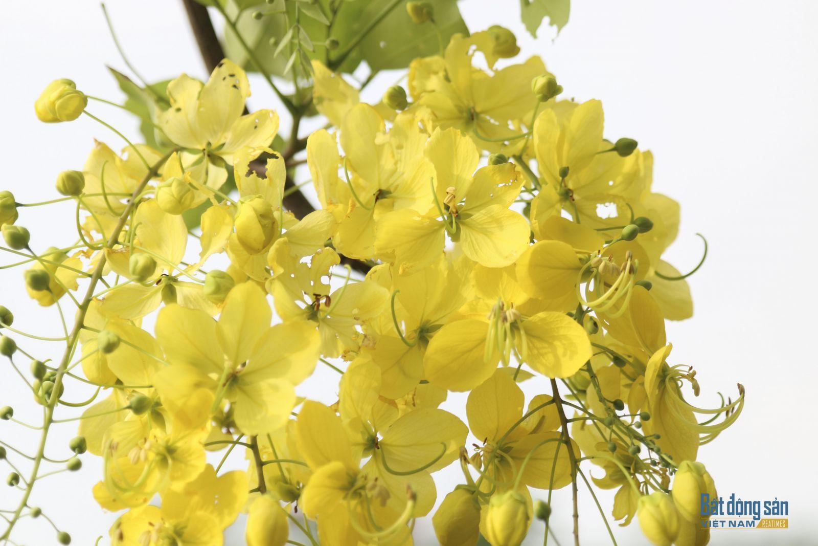 Mỗi bông hoa muồng hoàng yến có 5 cánh, mềm, mỏng rất đỗi dịu dàng. Hoa thường nở thành từng chùm lớn, rủ xuống dài khoảng 20 - 40 cm.
