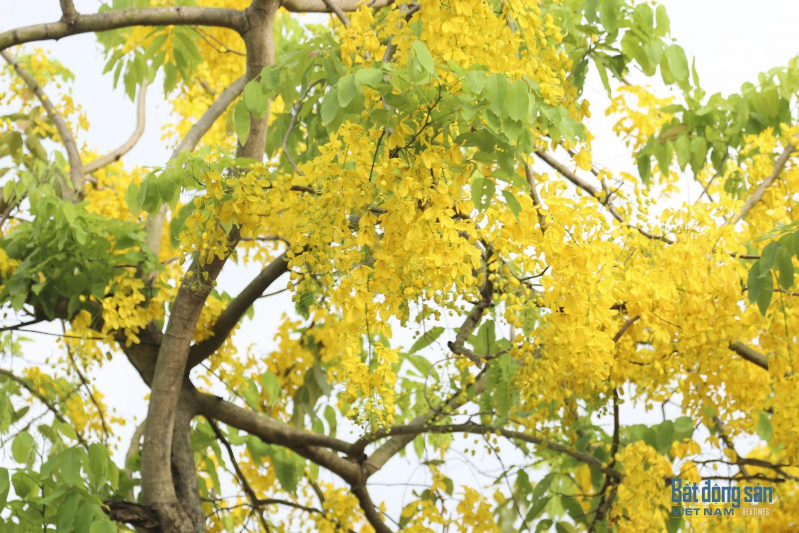 Rực vàng dưới bàu trời xanh ngắt, trong những tán lá xanh, sắc vàng tươi của hoa, xen giữa màu xanh non lá, tạo nên vẻ đẹp nhẹ nhàng của hoa Muồng hàng Yến.