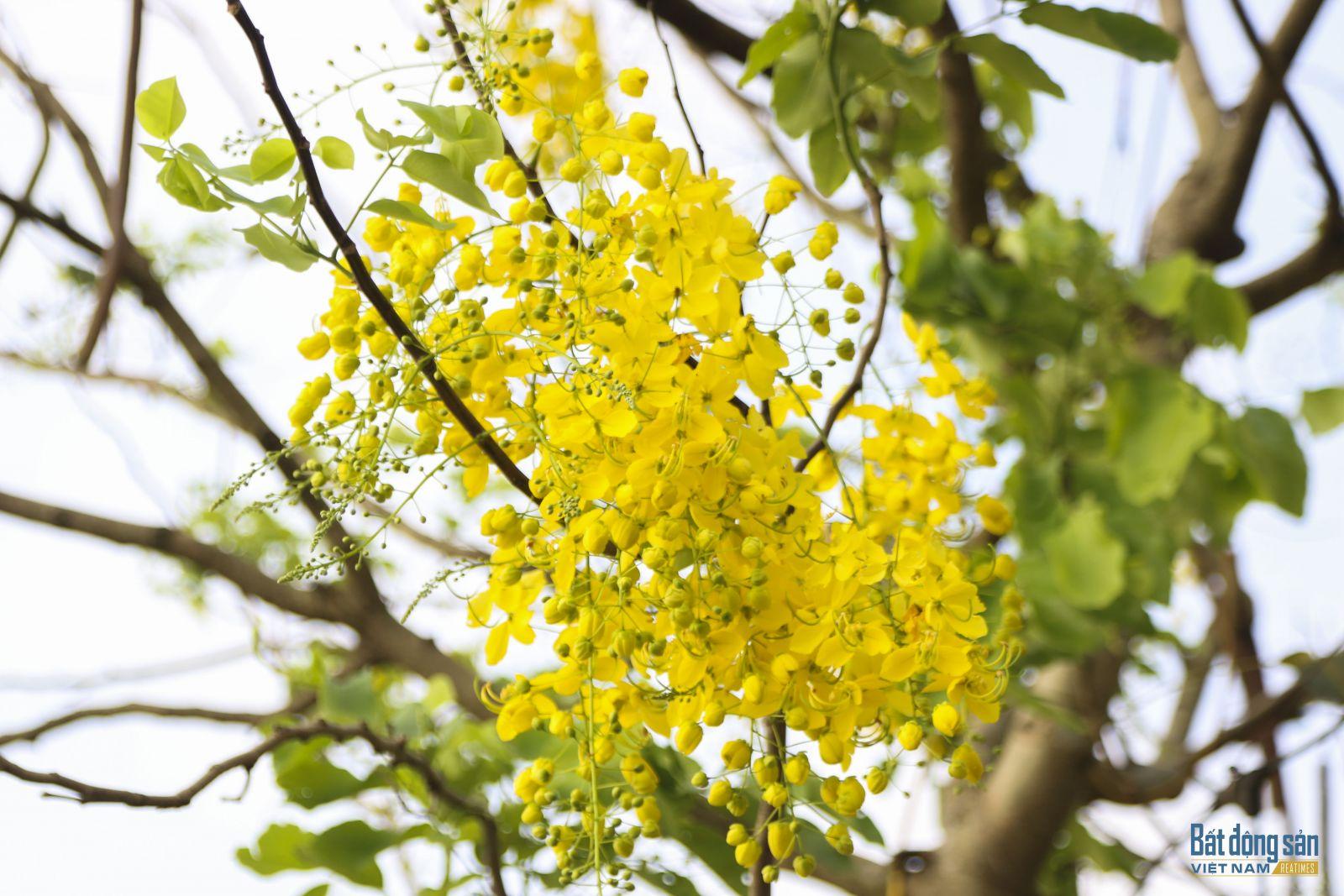 Muồng hoàng yến hay còn gọi là muồng hoàng hậu, bọ cạp vàng, hoa lồng đèn, mai dây…
