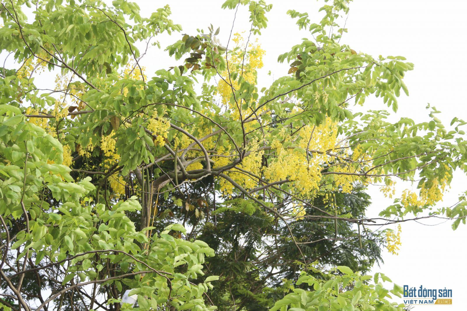 Muồng hoàng yến là quốc hoa của Thái Lan, tại đây nó được gọi là dok khuen; màu hoa vàng tượng trưng cho hoàng gia Thái. Loại hoa này cũng là biểu trưng của bangKeral (Ấn Độ), được gọi là kanikkonna.