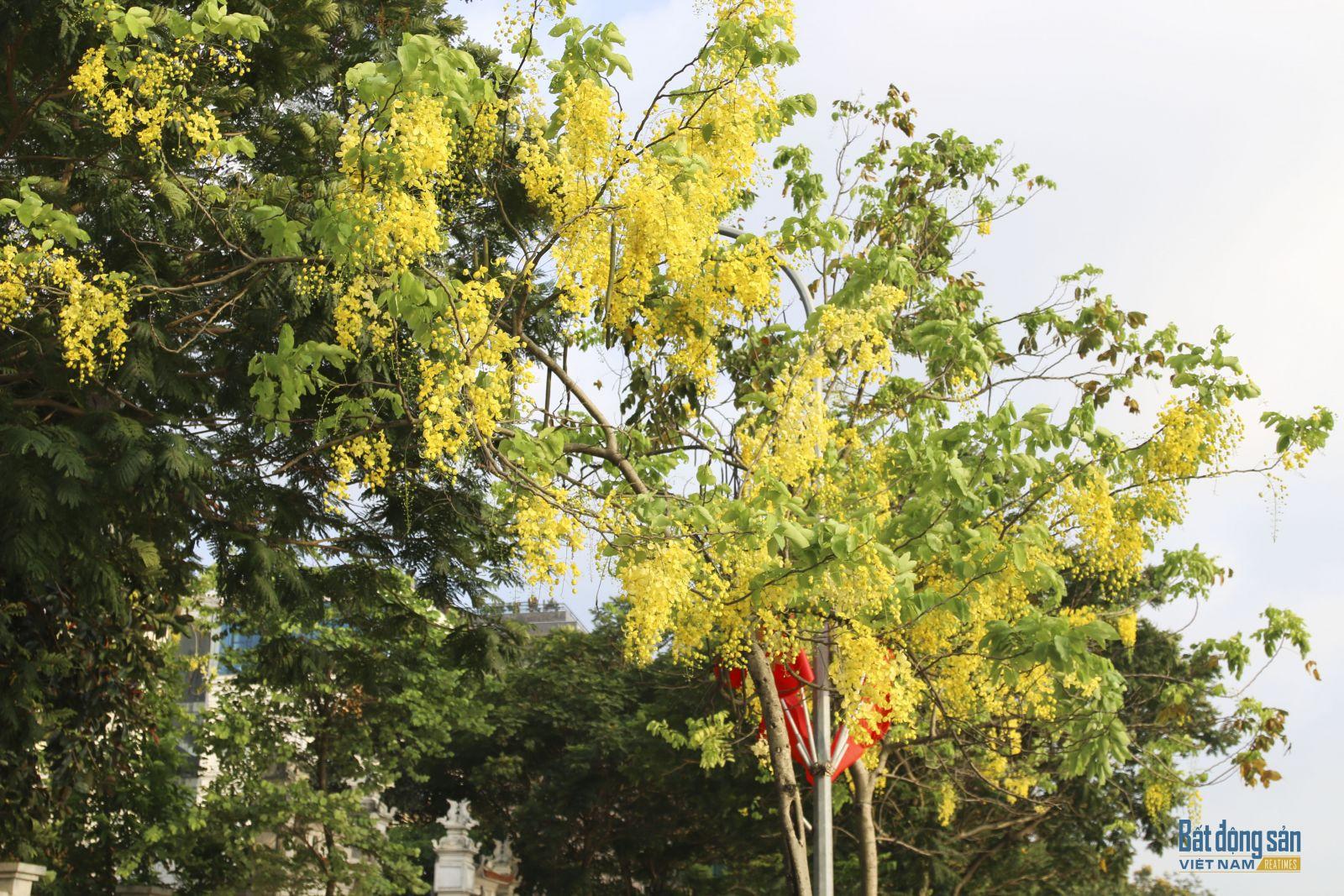 Ở Hà Nội, Muồng hoàng yến thường kéo dài trong khoảng 2 tháng, từ tháng 5 đến tháng 7