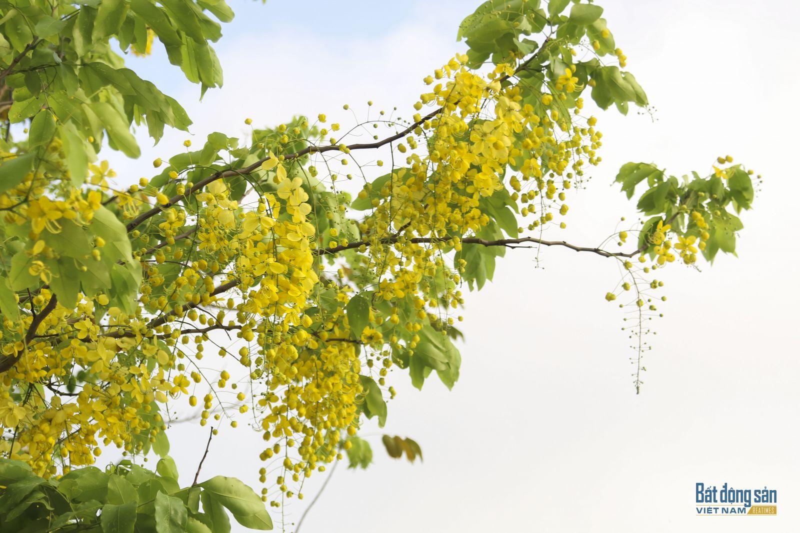 Vài năm gần đây, muồng hoàng yến được trồng nhiều tại nhiều tuyến phố của Thủ đô Hà Nội, tạo nên một mảng màu đặc sắc mỗi khi hè về.