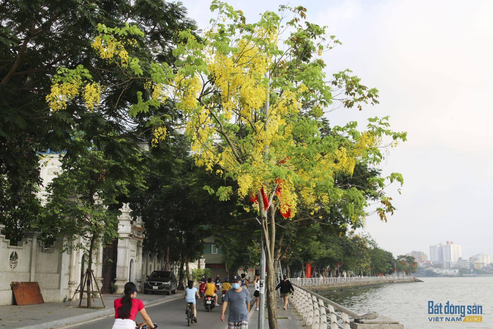Muồng hoàng yến dễ trồng, mau lớn, tán lại rộng, hoa rất đẹp nên thích hợp làm cây xanh cảnh quan đô thị.