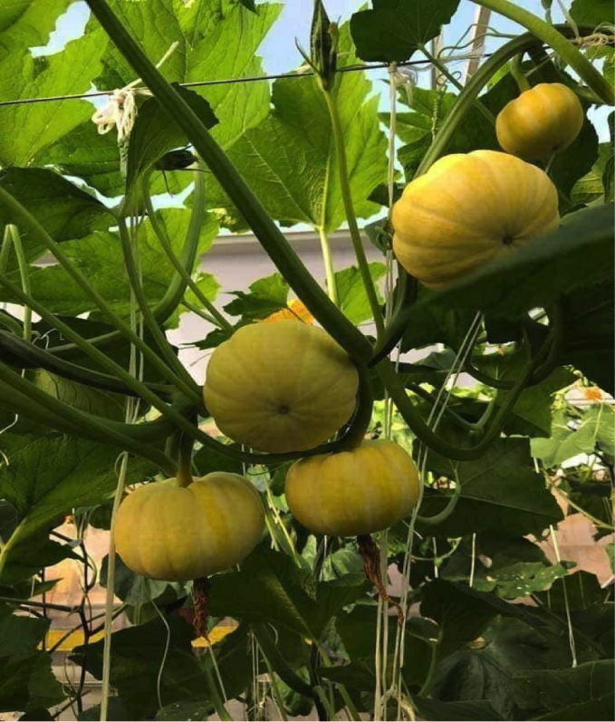 Bí được trồng nhiều nhất tại các trang trại ở Đà Lạt (Lâm Đồng)