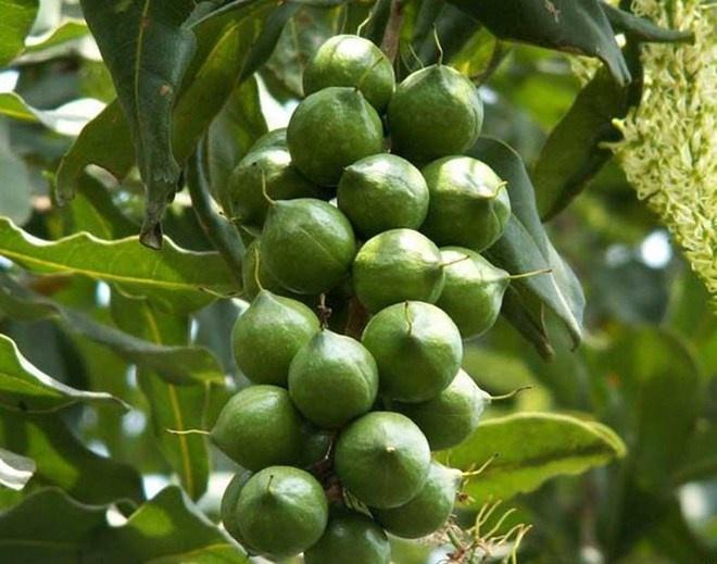 Cây mắc ca thành cây chủ lực của tỉnh Điện Biên. Ảnh: H.T