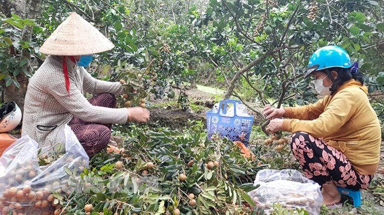 Người dân thu hoạch nhãn ở Tam Hiệp.