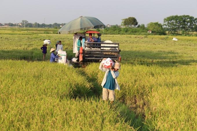 Hiện nay, lúa chưa thu hoạch tại nhiều địa phương còn rất nhiều, nhất là lúa vụ Hè Thu.