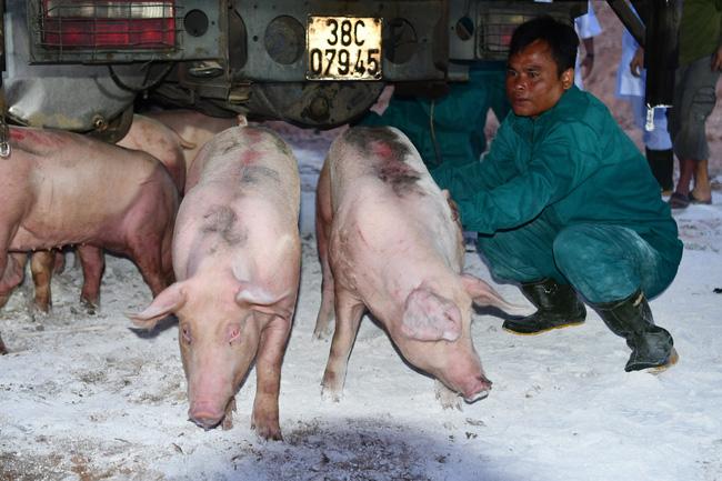 Nhập khẩu lợn sống từ Thái Lan về Việt Nam.