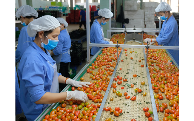 Công nhân Công ty TNHH sản xuất thương mại nông sản Phong Thúy (Lâm Đồng) sơ chế rau quả xuất khẩu. (Ảnh: Quang Hiếu)