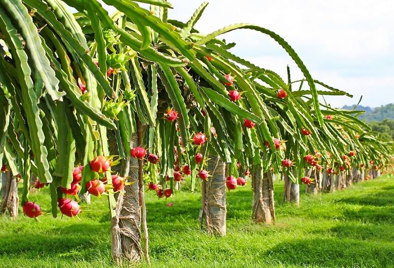 Thanh long tại các tỉnh phía Nam đang vào vụ thu hoạch rộ với sản lượng khá lớn.