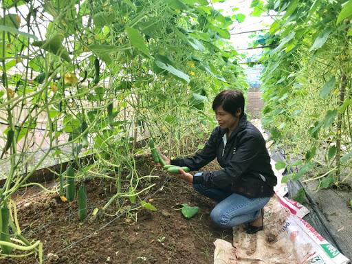 Mô hình trồng rau ứng dụng công nghệ cao của HTX sản xuất rau hữu cơ Cuối Quý (huyện Đan Phượng) cho thu nhập hàng tỷ đồng mỗi năm