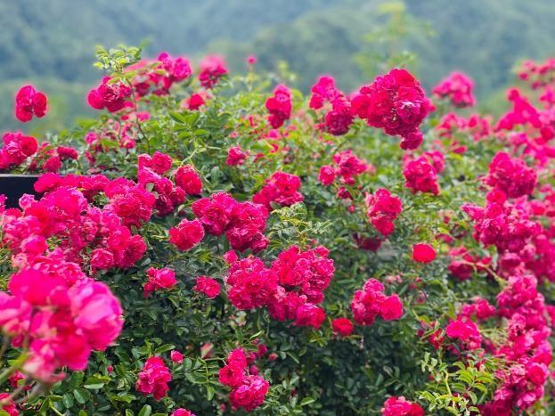 Thung lũng hoa hồng khổng lồ rộ nở tại Fansipan