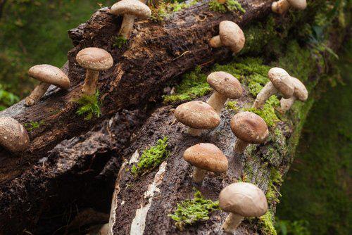 Nấm Shiitake thường mọc trên những thân cây cổ thụ