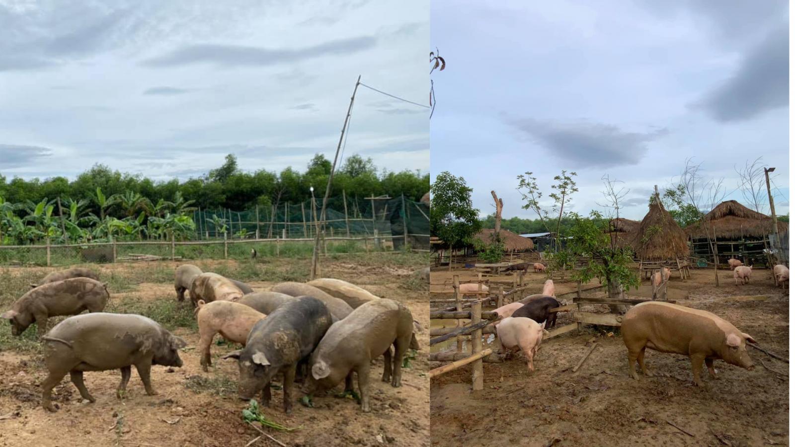 Heo tại nông trại được cho thả rông, tắm bùn và vận động thường xuyên nên có sức đề kháng cao, thịt heo săn chắc.