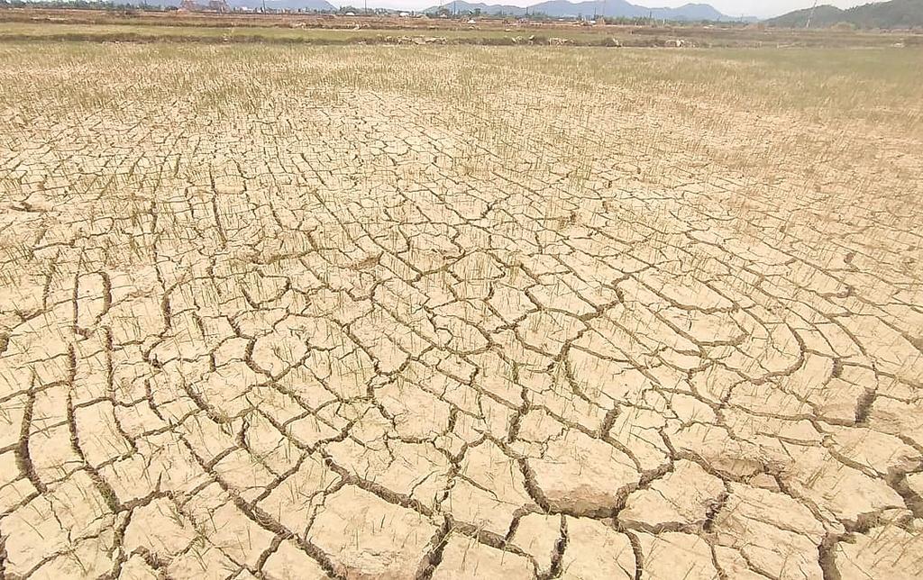 Cảnh đồng ruộng khô nứt nẻ ở Nghi Lộc, Nghệ An. (Ảnh: Báo Giao thông)