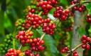 Giá cà phê biến động ngược chiều trên thị trường thế giới