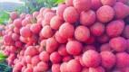 Dự kiến khoảng 100 tấn vải thiều Việt Nam sẽ được xuất khẩu sang Úc