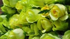 Hoa hồng Đà Lạt tiêu thụ mạnh, giá cao dịp Quốc tế Phụ nữ