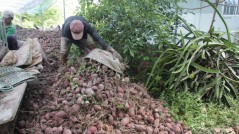 Nông dân Vĩnh Long điêu đứng vì khoai lang trượt giá thê thảm