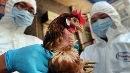 FAO và WHO khuyến cáo cảnh giác nhiễm cúm A H5N8 sang người