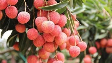 Bắc Giang: Đã tiêu thụ được hơn 45.000 tấn vải chín sớm