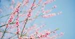 Mãn nhãn hoa anh đào, đào rừng đẹp như chốn Phù Tang tại Fansipan