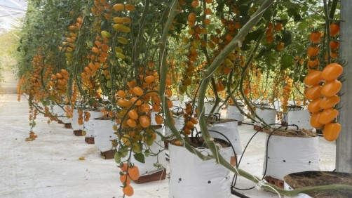 Mê mẩn với vườn cà chua trĩu quả, óng vàng giữa đại ngàn Tây Nguyên