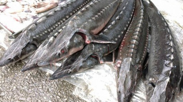 Hải quan gặp khó trong quản lý nhập khẩu cá tầm